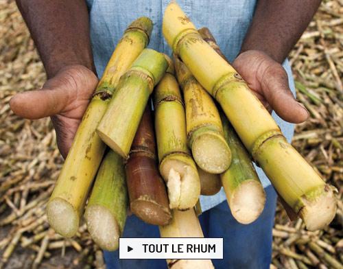 Le rhum est produit à partir de la canne à sucre