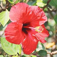 Fleur de hibiscus